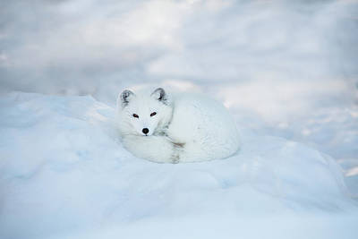 Photograph - Arctic Fox Resting In The Snow by Seppfriedhuber