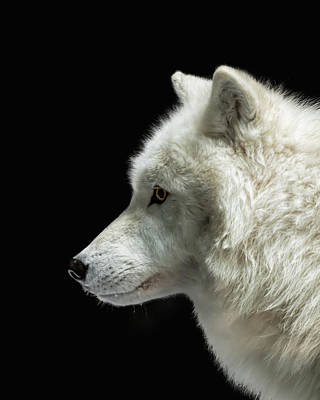 Photograph - Arctic Wolf In Profile by Susan Rissi Tregoning