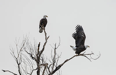 Photograph - Arizona Eagles by Loree Johnson
