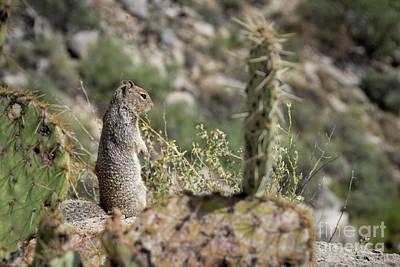 Photograph - Arizona Gray Squirrel by Doug Koski