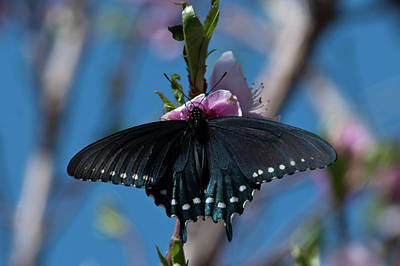 Photograph - Arizona Swallowtail  by Cascade Colors