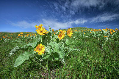 Photograph - Arrowleaf Balsamroot by Todd Klassy
