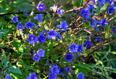Photograph - Arroyo De La Cruz Blue-eyed Grass by Mae Wertz