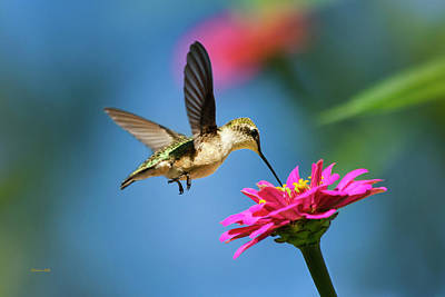 Birds Rights Managed Images - Art of Hummingbird Flight Royalty-Free Image by Christina Rollo