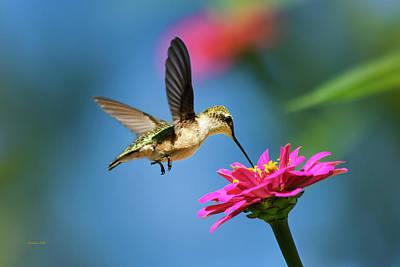 Hummingbird Photograph - Art Of Hummingbird Flight by Christina Rollo