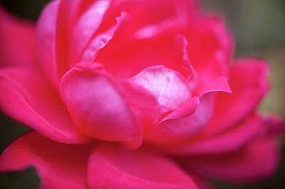Photograph - As Red As A Rose by Mark Duehmig