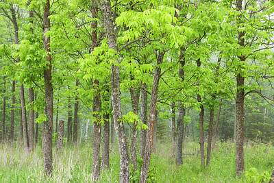 Thunder Bay Photograph - Ash Forest In The Fog by Susan Dykstra / Design Pics