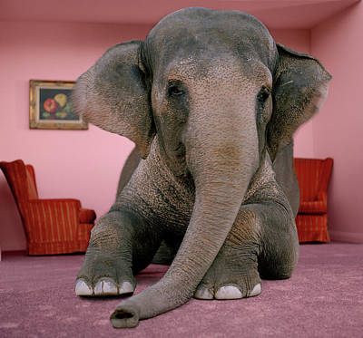 Lying Down Photograph - Asian Elephant In Lying On Rug In by Matthias Clamer
