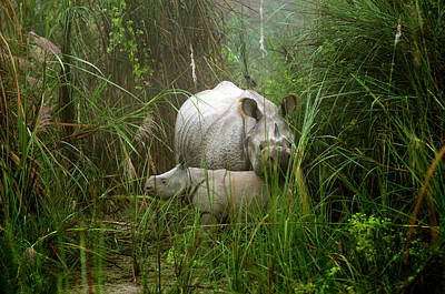 Animal Family Photograph - Asian One-horned Rhinos, Mother And by M. Gebicki