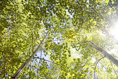 Photograph - Aspen Canopy With Sun Flare by Lincoln Rogers