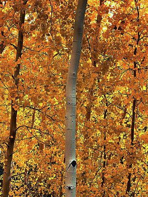 Photograph - Aspen Forest by Anthony Dezenzio