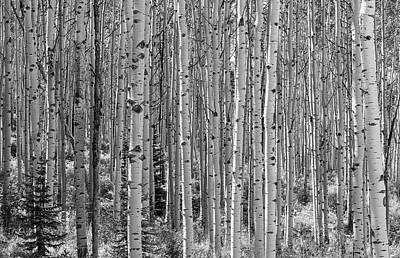 Photograph - Aspen Forest - Black And White by Loree Johnson