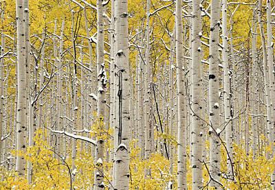 Photograph - Aspen Forest In Autumn by Leland D Howard