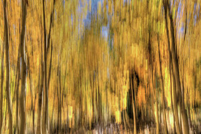 Photograph - Aspen Gold by Donna Kennedy
