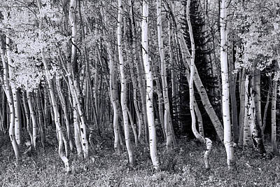 Photograph - Aspen Grove - B And  W by Allen Beatty