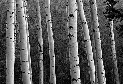 Photograph - Aspen In Black And White by Dave Dilli