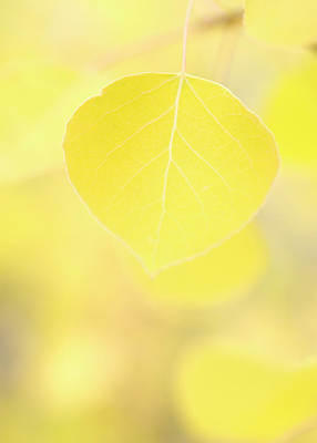 Leaf Photograph - Aspen Leaf Macro by Cobraphoto