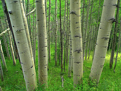 Photograph - Aspen Populus Tremuloides Forest In by Tim Fitzharris/ Minden Pictures