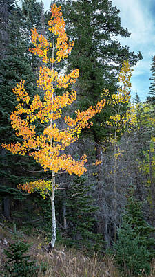 Photograph - Aspen Tree On A Mountainside by Mary Lee Dereske
