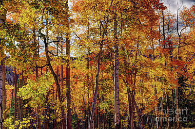 Photograph - Aspens Ablaze In Autumn by Jean Hutchison