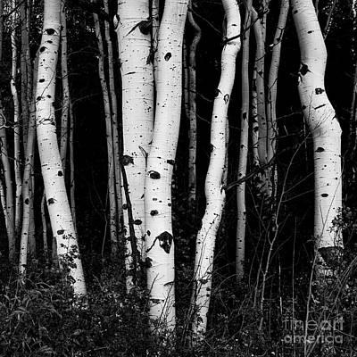 Photograph - Aspens-big Cottonwood Canyon by Laurel McFarland