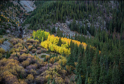 Photograph - Aspens Hiding In Plain Site by Gordon Ripley
