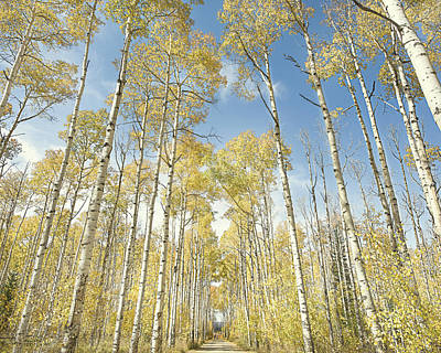 Photograph - Aspens In Fall Color by Jennifer Grossnickle