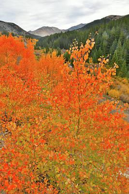 Photograph - Aspens Near Leadville Colorado by Ray Mathis
