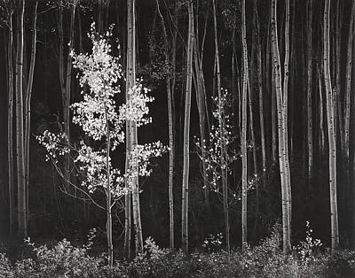 Mountain Rights Managed Images - Aspens Northern New Mexico Royalty-Free Image by Ansel Adams