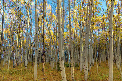 Photograph - Aspens by Philip Rodgers