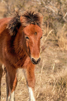 Photograph - Assateague Island Pony Foal by Kristia Adams