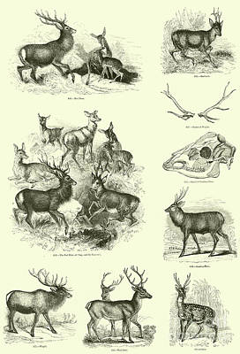 Natural Drawing - Assorted Deer by English School
