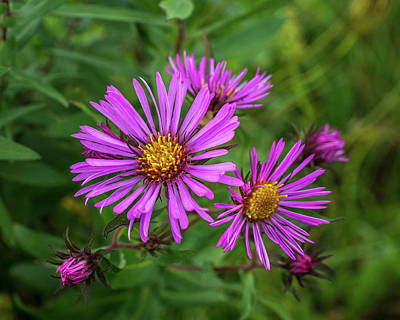 Photograph - Aster In The Wild by Bill Pevlor
