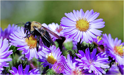 Photograph - Asters And Bee by Elaine Manley