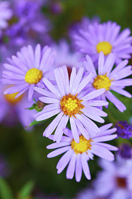 Photograph - Asters by Garden Gate magazine