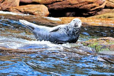 Photograph - Atlantic Gray Seal  by Elaine Manley