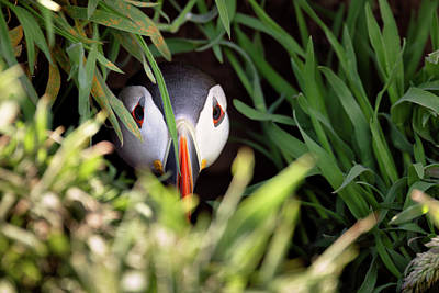 Elliott Coleman Royalty-Free and Rights-Managed Images - Atlantic Puffin in Burrow by Elliott Coleman