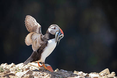 Elliott Coleman Royalty-Free and Rights-Managed Images - Atlantic Puffin with Sand Eels by Elliott Coleman