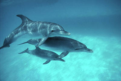 Animal Family Photograph - Atlantic Spotted Dolphins Stenella by Georgette Douwma