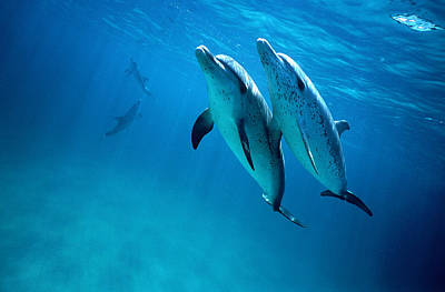 Togetherness Photograph - Atlantic Spotted Dolphins, Stenella by Tobias Bernhard