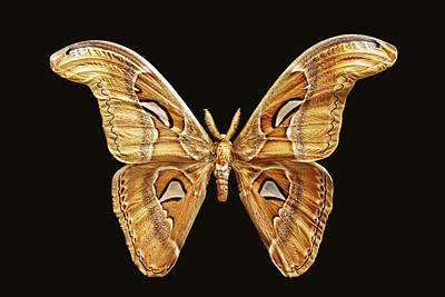 Photograph - Atlas Moth by KJ Swan