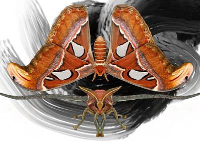 Atlas Moth8 Art Print