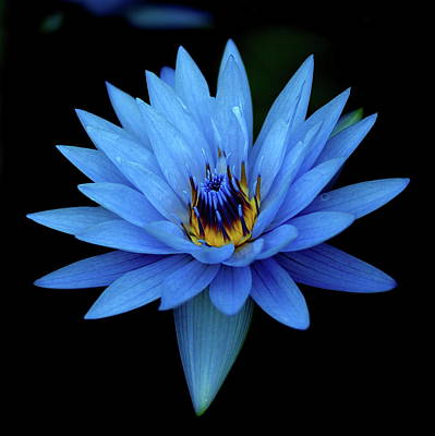 Flower Photograph - Attractive Blue, Waterlily by I Love Photo And Apple.