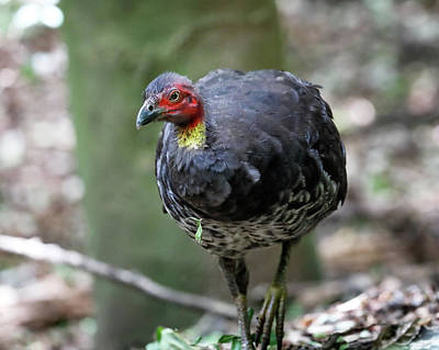 Photograph - Australian Brushturkey by Nicholas Blackwell