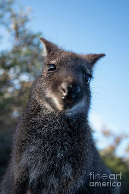 Photograph - Australian Bush Wallaby Outside During The Day. by Rob D
