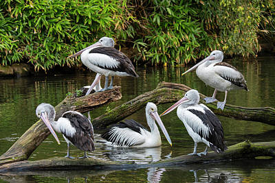 Photograph - Australian Pelicans by Arterra Picture Library