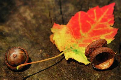 Photograph - Autumn Acorns by Christina Rollo