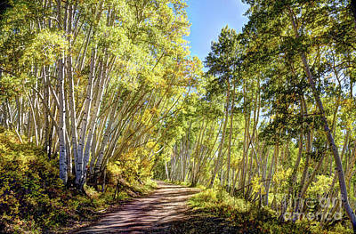 Photograph - Autumn Aspen Drive by Jean Hutchison