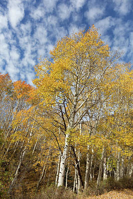 Photograph - Autumn Aspen In The Abajos by Kathleen Bishop