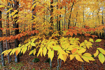 Photograph - Autumn Beech Leaves by Gary Corbett